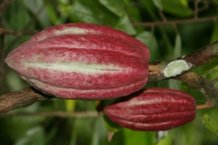 Antioxidant, Kakaobohnenflavonoide, Biokakaobohnenspezialitäten