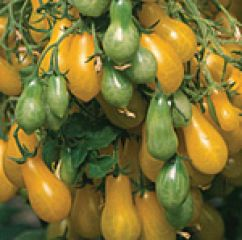 Tomate Dattelwein Lycopersicon esculentum Mill. ReinSaat